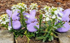 Purple bunny Peeps hide in a cluster of white flowers, hoping to avoid being eaten.